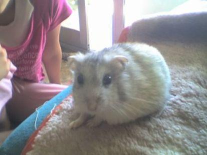 mi hamster macu