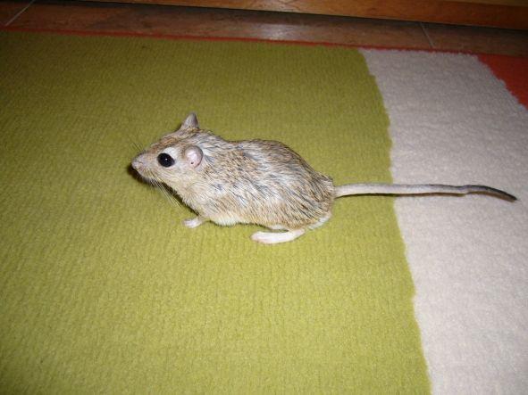 Tita de paseo, Tita es diminutivo de ratita, es una hembra de Jerbo es una de las mascota de la casa.