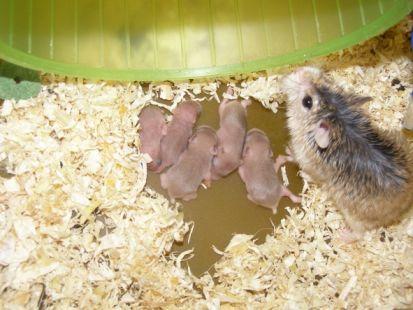 Mamá Hamster