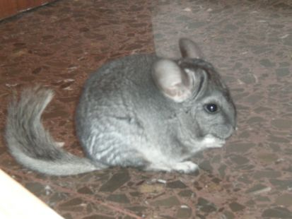 chinchilla de paseo