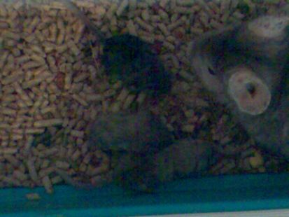 mama chinchilla con bebes
