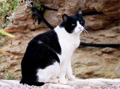Gato salvaje, del Peñón de Ifach