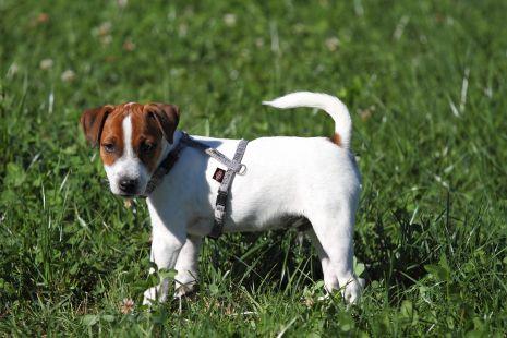 Paco (Parson Rusell Terrier)