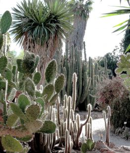 Jardi Botánico, Cactus